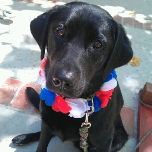 4th of July Black Lab!