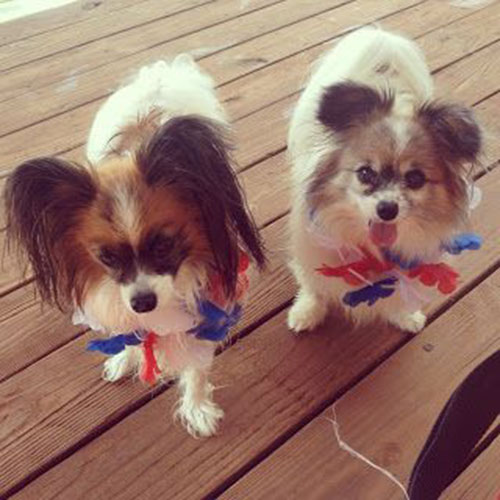 Cute 4th of july pups