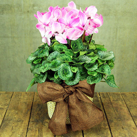 Mothers day cyclamen-basket